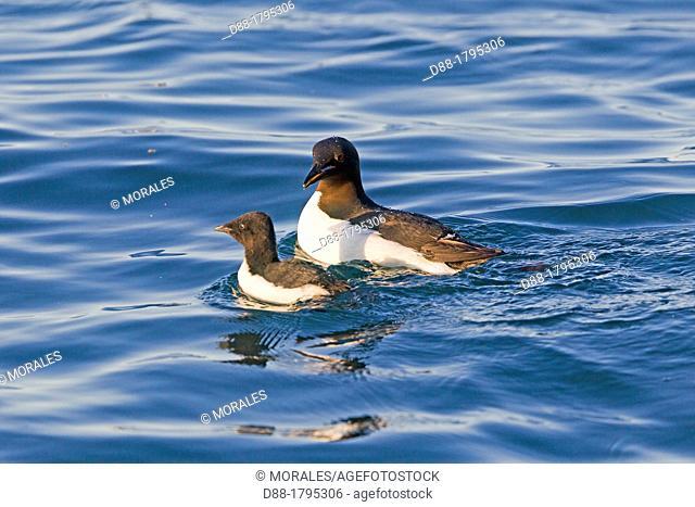 Norvège, Archipel du Svalbard, Spitzberg, Guillemot de Brunnich Uria lomvia , femelle et un jeune // Norway , Spitzbergern , Svalbard