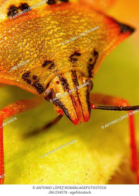 Bug (Carpocoris mediterraneo-atlanticus)