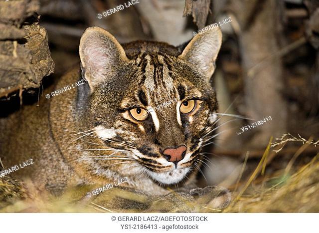 Asian Golden Cat or Temminck's Cat, catopuma temmincki, Portrait of Adult