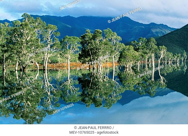 PACIFIC ISLANDS - New Caledonia, Niaouli trees during wet season, June / July. (Melaleuca quinquenervia)
