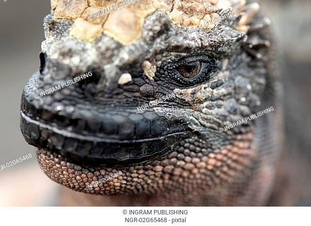 Marine iguana (Amblyrhynchus cristatus), Puerto Egas, Santiago Island, Galapagos Islands, Ecuador