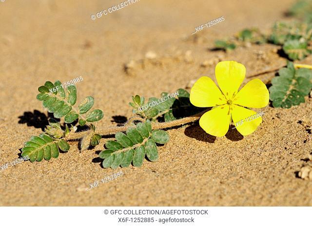 Tribulus cristatus, Zygophyllaceae, Richtersveld,Transfrontier National Park, Tatasberg, South Africa