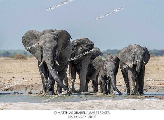 African elephants (Loxodonta africana), elephant herd drinking at a waterhole, Nxai Pan National Park, Ngamiland District, Botswana