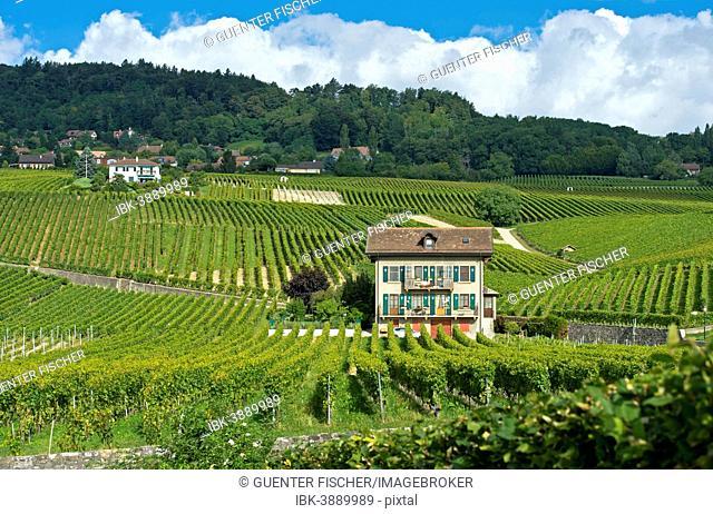 Vineyards in the wine-growing region of Féchy, Canton of Vaud, Switzerland