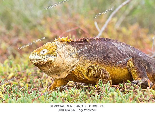 The very colorful Galapagos land iguana Conolophus subcristatus on North Seymour Island in the Galapagos Island Archipelago, Ecuador
