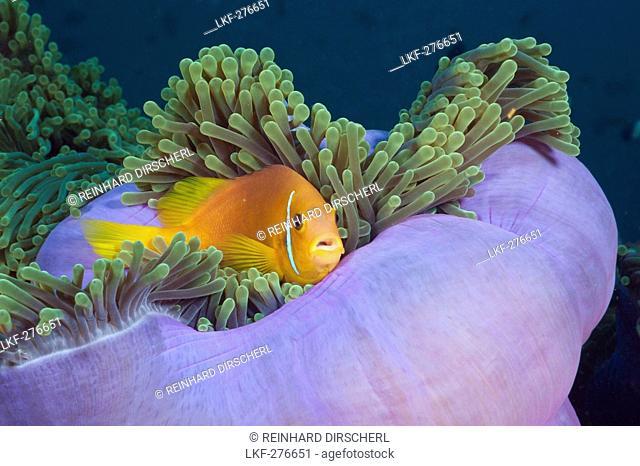 Maldives Anemonefish in Magnificent Anemone, Amphiprion nigripes, Heteractis magnifica, Maldives, North Ari Atoll