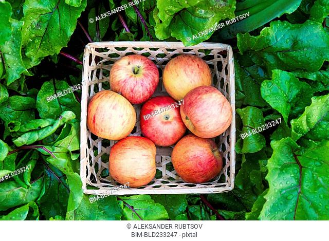 Close up of basket of red apples in wet leaves