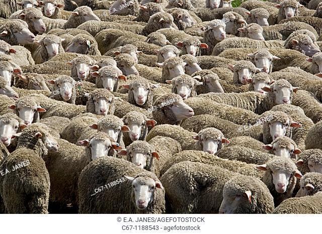 Merino Sheep Flock New Zealand