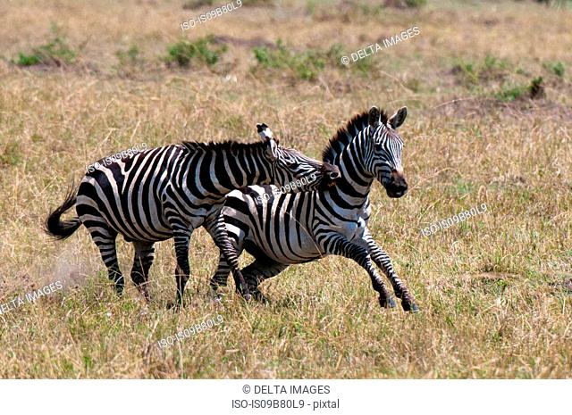 Zebras fighting (Equus quagga), Maasai Mara National Reserve, Rift Valley, Kenya, Africa