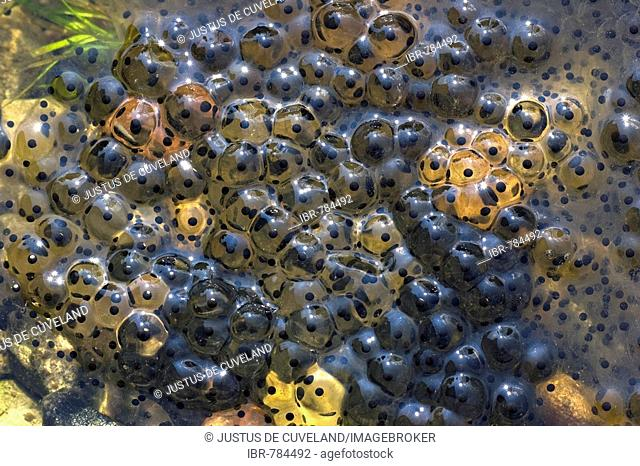 European Common Brown Frog (Rana temporaria), frog spawn, frog eggs in shallow water