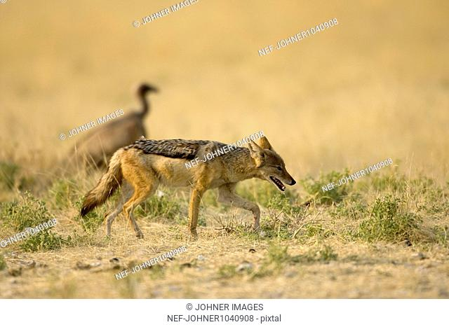Black-backed Jackal (Canis mesomelas) in desert