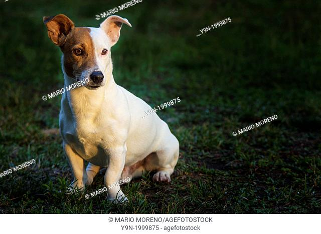 A Jack Russell posing nicely in afternoon light