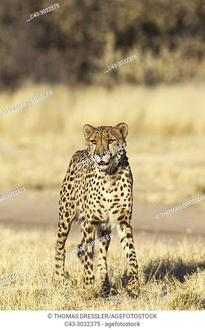 Cheetah (Acinonyx jubatus). Photographed in captivity. Harnas Wildlife Foundation, Namibia