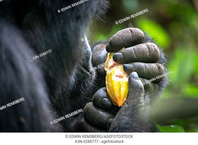 A Mountain Gorilla (Gorilla beringei beringei) of the Muhoza group, holds a fruit, in Volcanoes National Park, Virunga mountain range , Rwanda
