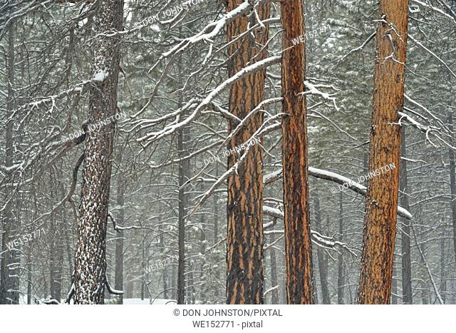 Ponderosa Pine (Pinus ponderosa) forest in winter, Bryce Canyon National Park, Utah, USA