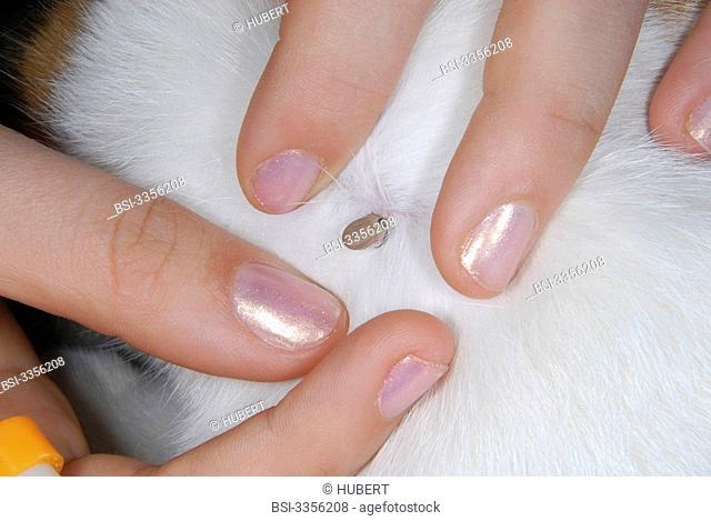 Tick on an adult red and white cat