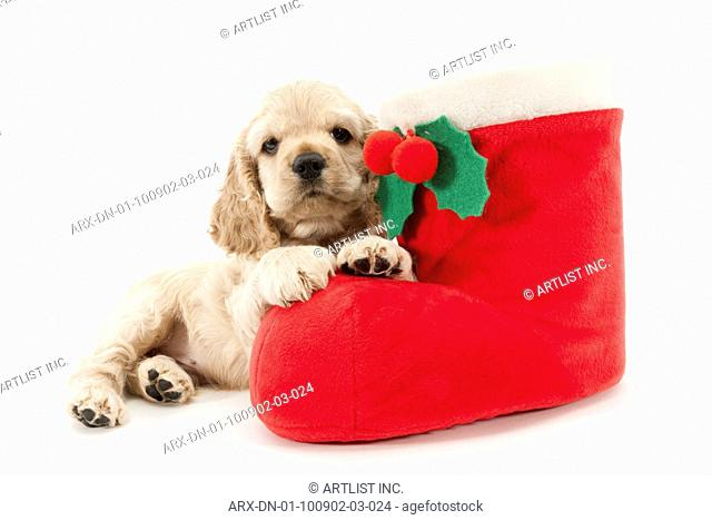 A puppy with christmas boot