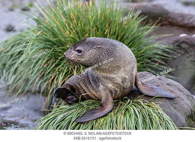 A young Antarctic fur seal, Arctocephalus gazella, on tussac grass in Cooper Bay, South Georgia