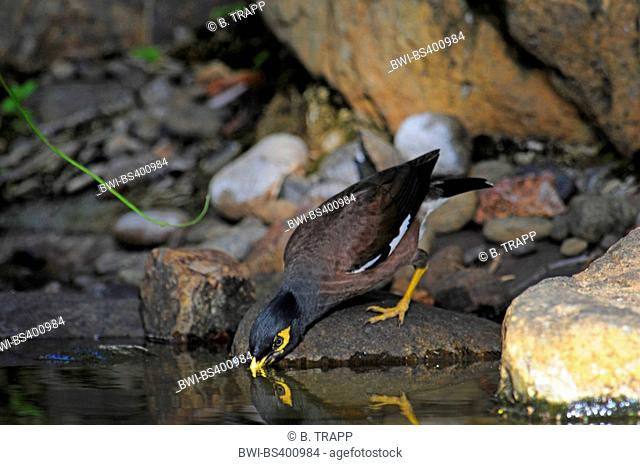 common mynah (Acridotheres tristis), drinks from a brook, New Caledonia