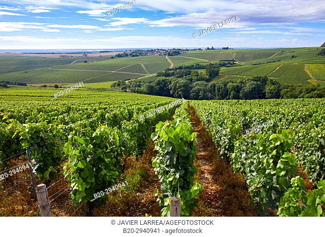 Vineyards of Chardonnay, Préhy, Chablis, Yonne, Bourgogne, Burgundy, France, Europe