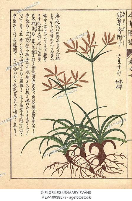 Roots, leaves and flowers of coco-grass, purple nut sedge, red nut sedge, Cyperus rotundus L. . Color-printed woodblock engraving by Kan'en Iwasaki from Honzo...