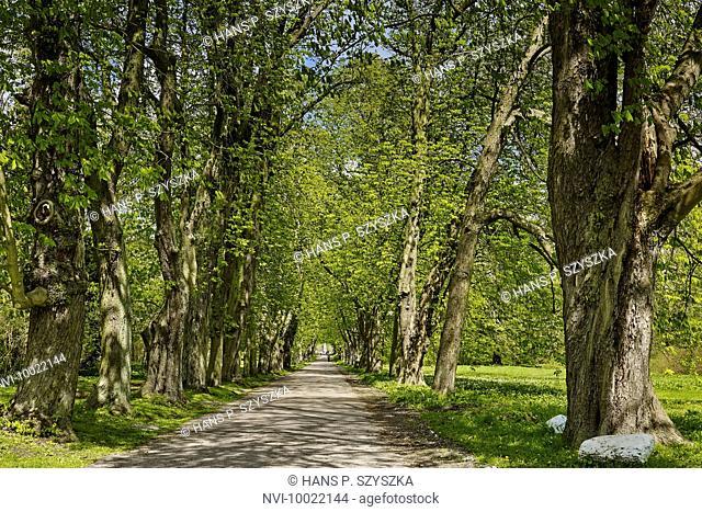 Avenue of chestnut trees in the park of Putbus, Rügen Island, Mecklenburg Western Pomerania, Germany