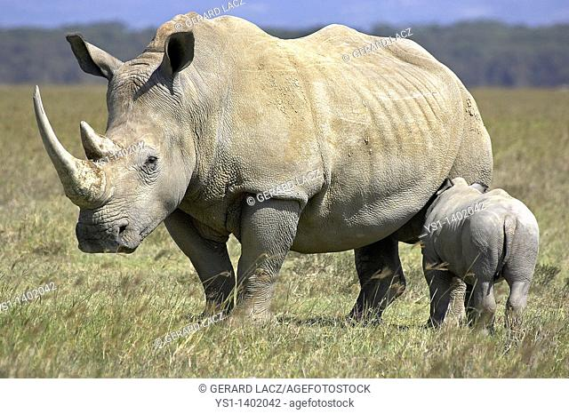 White Rhinoceros, ceratotherium simum, Female with Calf, Nakuru Park in Kenya