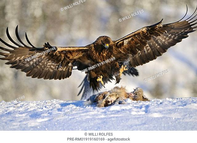 Bald eagle with bait, Aquila chrysaetos, Norway, Scandinavia, Europe