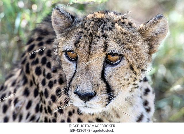 Cheetah (Acinonyx jubatus), Waterberg, Namibia