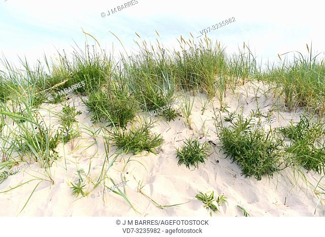 Narrowleaf hawkweed (Hieracium umbellatum or Hieracium canadense) is a perennial herb native to Eurasia and North America