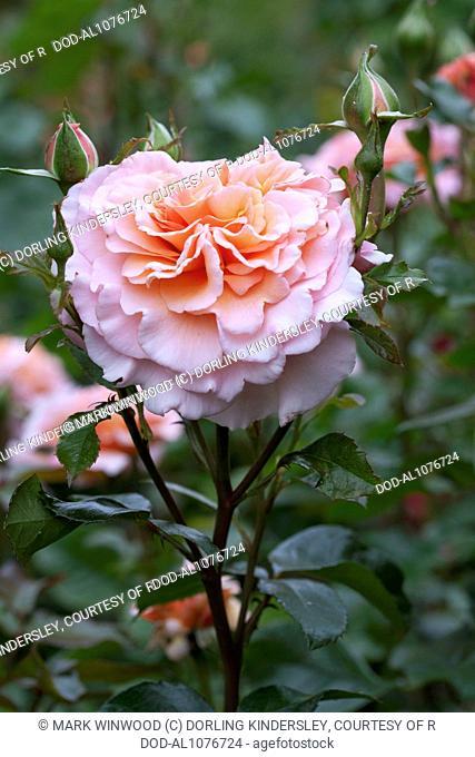 Rosa Great Expectations ('Mackalves')