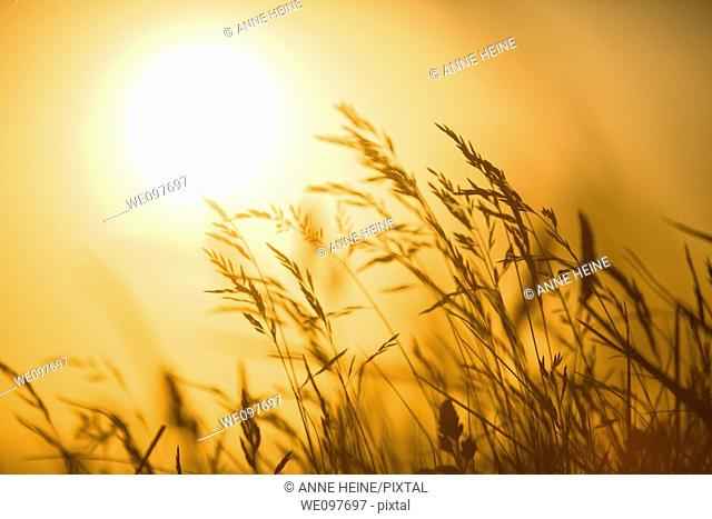 shaked grass in front of sunset