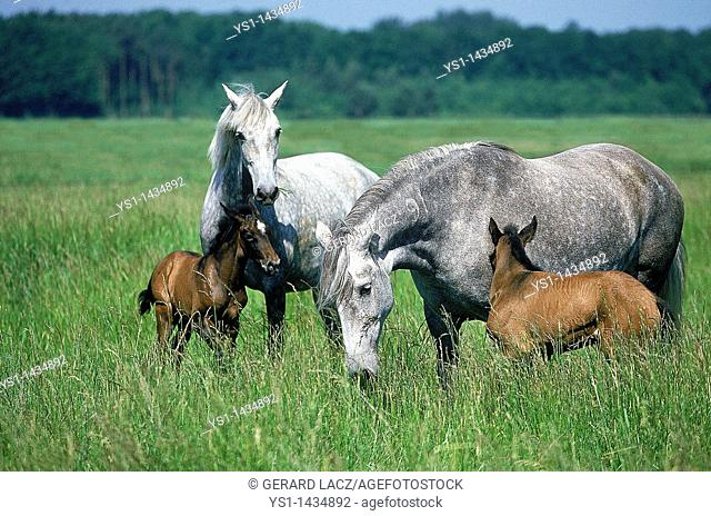 LUSITANO HORSE, MARES WITH FOALS STANDING IN PASTURE