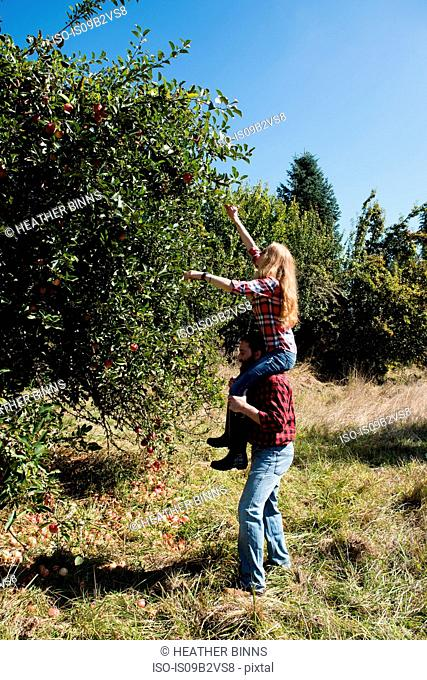 Young woman on boyfriend's shoulders picking apples in organic farm orchard