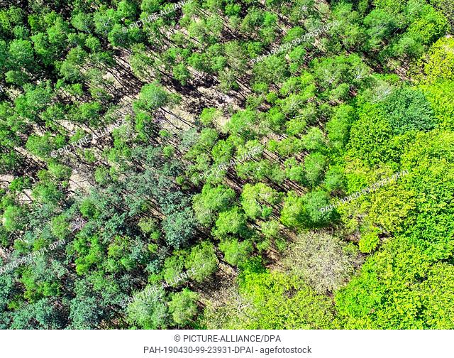 25 April 2019, Brandenburg, Sieversdorf: A mixed forest in the Oder-Spree district shines in different shades of green (aerial photograph with a drone)