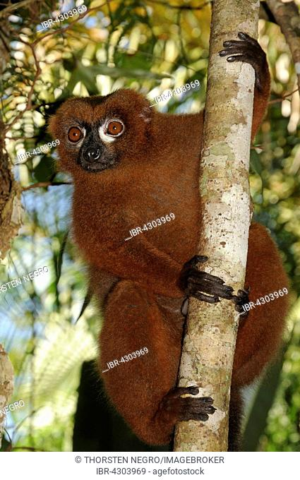 Red-bellied lemur (Eulemur rubriventer) in tree, rainforest, Andasibe-Mantadia National Park, Madagascar