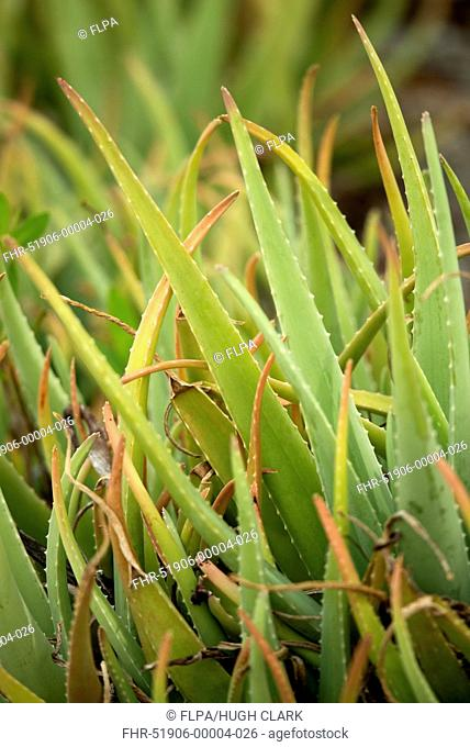 Medicinal Aloe (Aloe vera) close-up of leaves, Bonaire, Leeward Antilles, Lesser Antilles, October
