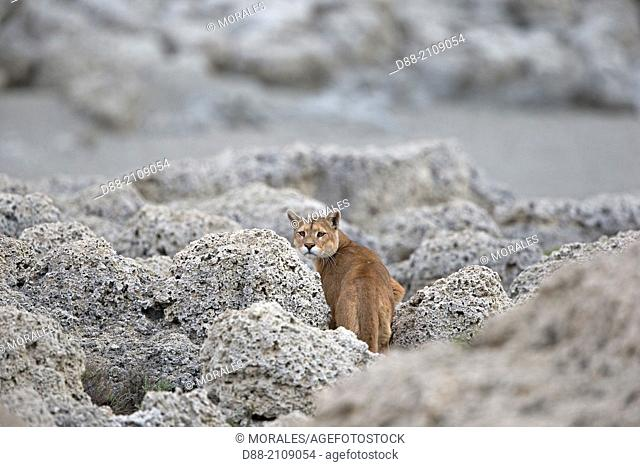 Chile, Patagonia, Magellan Region, Torres del Paine National Park, cougar (Puma concolor), also known as the mountain lion , adult in rocks near a lake