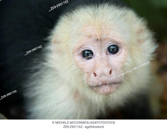 A capuchin monkey's gaze, Honduras, 5/16