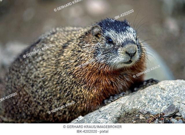 Yellow-bellied marmot (Marmota flaviventris), Grand Teton National Park, Wyoming, USA