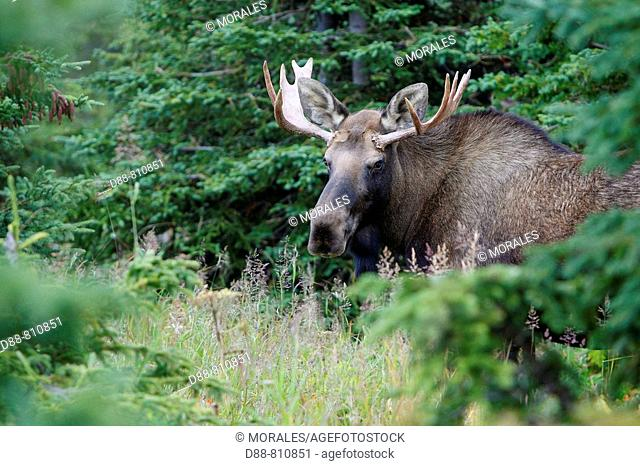 Moose (Alces alces), 3-4 year old male. Alaska, USA