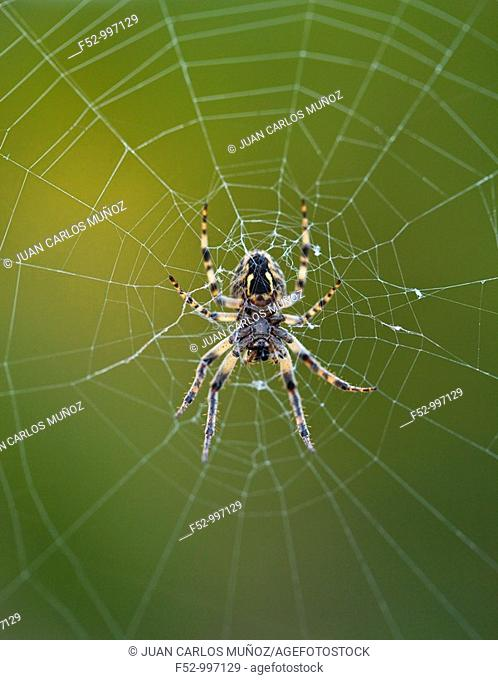 Spider in its web. Cantabria. Spain