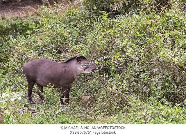 An adult South American tapir, Tapirus terrestris, Pousado Rio Claro, Mato Grosso, Brazil
