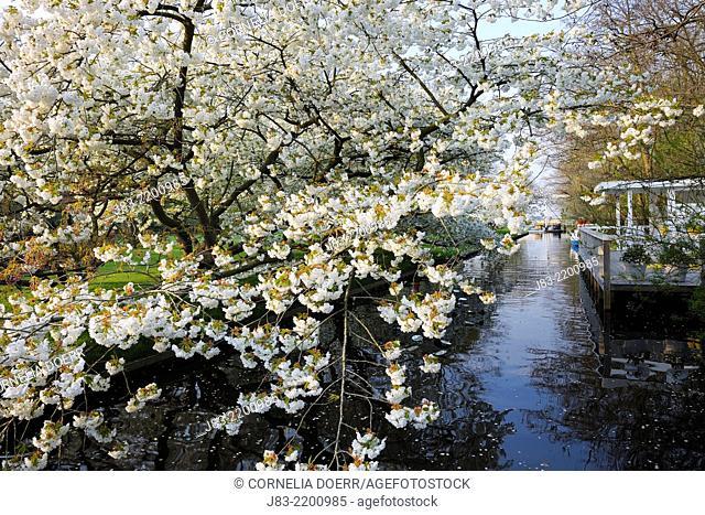 Blossoming Cherry Trees along the canal, Keukenhof Gardens, Lisse, Holland, Netherlands