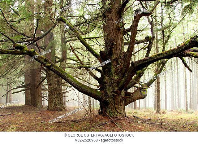Douglas fir along South Meadow Trail, Beazell Memorial Forest County Park, Benton County, Oregon