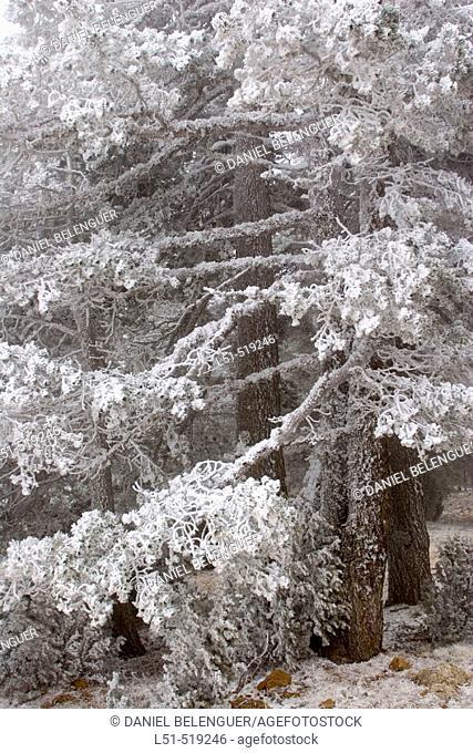 Pine in snowstorm. Sierra Gúdar-Javalambre. Teruel, Aragon. Spain