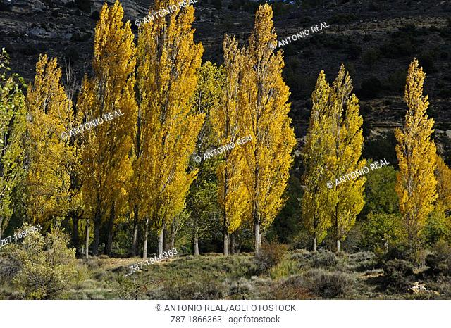 Black Poplar (Populus nigra), Fall, El Cubillo, Serrania de Cuenca