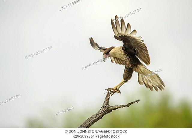 Crested Caracara (Caracara plancus) Landing on perch, Santa Clara Ranch, Starr County, Texas, USA