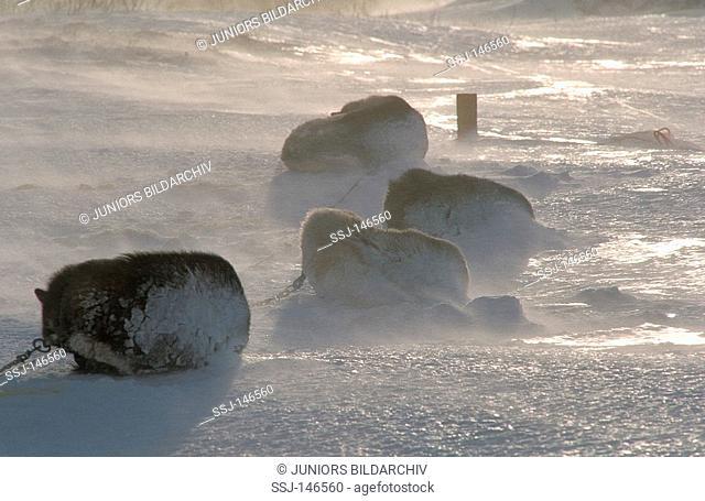 four huskies - sleeping in snow storm