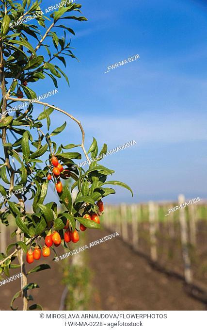 Wolf berry, Goji berry, Lycium barbarum, Mass of red berries growing outdoor on the bush